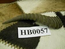 Springbuck horn Hb0057