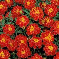 Marigold (Tagetes Patula Nana Double Brocade Red)- 50 Seeds