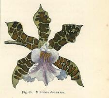 Stampa antica FIORI ORCHIDEA MILTONIA JOICEYANA botanica 1896 Antique print