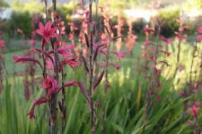 die SCHWERTLILIE  Blumen Samen Blumenbeet aufrechte Blütenstände.