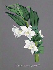 PAINTING BOOK PAGE ORCHID DENDROBIUM AQUEUM LARGE ART PRINT POSTER LF1453