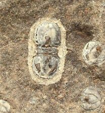 Triplagnostus Gibbus Trilobite Russian Cambrian Siberia