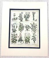 1810 Antico Botanico Stampa Uva Vite Viole Valeriana Piante Mano Colorato