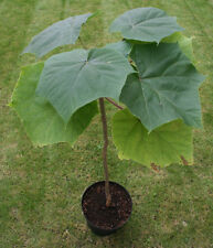 Paulownia elongata - The Royal Empress Tree - 50 Seeds - Very Fast Growing