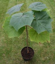 Paulownia elongata - The Royal Empress Tree - 50 Seeds - Very Fast Growing