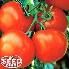 Marglobe Tomato Seeds 250 SEEDS-SAME DAY SHIPPING
