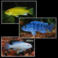 Mixed Mbuna Cichlids - 3 Live Fish