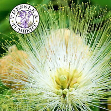 Raro Albizia lebbeck, Woman's Tongue Tree - 5 Semillas-Reino Unido Vendedor