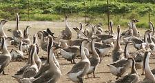 Presale 2021 6+ African Grey Geese Hatching Eggs. Read More. Npip Certified