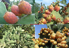30+ seeds Opuntia ficus indica nopal edible cactus nopalea juice nopalina