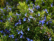 Seeds Rosemary Aromatic Herb Market or Home Gardening Potted Plant seed Non Gmo