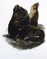Impression Affiche papier Histoire Naturelle l'Otarie à Crinière , Otaria byroni