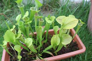 10 Green Pitcher Plant  (Sarracenia oreophila) seeds 2019.