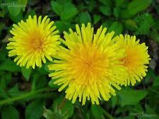 60 Semi TARASSACO DENTE DI LEONE*Taraxacum officinalis Dandelion seeds semillas