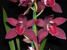 Flowering size Cymbidium Mutawa x Death Wish Black 200mm orchid