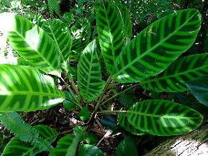 Calathea zebrina - Brazil Zebra Plant