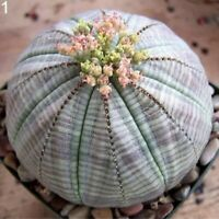 20pcs Mixed Succulent Seeds Lithops Rare Living Stones Plants Cactus Home Plant