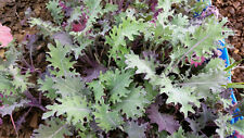Certified Organic Red Russian Kale Seed (300ct) 2018