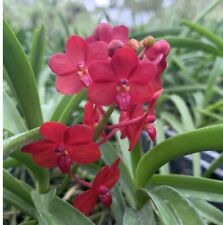 Red! Vanda Frank Smith (V. Truman Motes x V. curvifolia) Orchid Plant Nbs