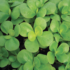 Purslane Green herb, BULK 200 seeds, Annual