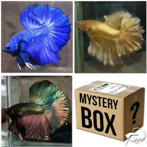 (Buy3Get1Free!)Premium Live Betta Fish l Halfmoon Type Random Pick Special Price