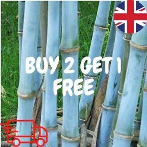 BLUE Bamboo Timor Bambusa Lako  Viable Seeds - UK SELLER BUY 2 GET 1 FREE