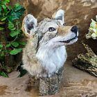 br23 Taxidermy Oddities Curiosities Prairie Wolf coyote Head mount Display deco