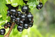 Juicy & Delicious / Blackcurrant (Ribes rubrum)*\ 15~Finest Seeds |UK Seller*