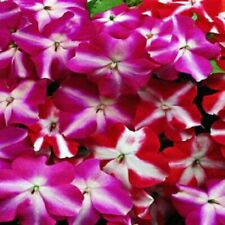 *NEW* Impatiens Accent star Mix - Flowers  20 Seeds - Rare-Fresh Stock Aus