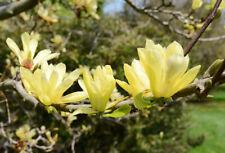 Stunning Magnolia 'Butterflies' In 2L Pot 30-50cm, Yellow star shaped flowers.