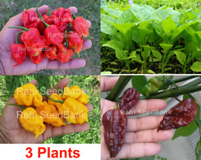 Carolina Reaper Chilli Plants Pack - 3 Plants Pack - Red, Yellow & Chocolate!!!