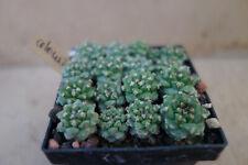 Kakteen – Kaktus – Turbinicarpus alonsii - 1,5cm - 1 Pflanze