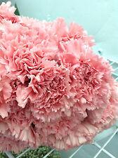 25 Stem Fresh PINK Carnation Flowers, Easter Flowers, Fundraiser, Church Flowers