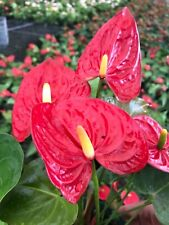"""Anthurium Nevada - Large plants in bloom in 6"""" Pot"""