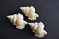 """Set of 3 Unique Maple Leaf Shells (Biplex Perca) 3/4-1 1/4"""" (20-32mm) Crafts ."""