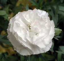 50 WHITE CARNATION Caryophyllus Grenadin Flower Seeds + Gift & Comb S/H