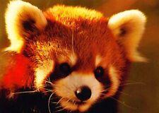 Ansichtskarte: niedlicher Katzenbär (Roter Panda)