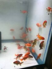 "3 pcs Ranchu Goldfish sm  very nice short tail 2.5"" good curve great quality"