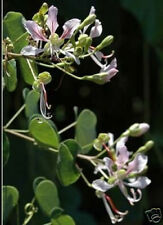 Bauhinia corymbosa Orchidflower Vine Butterfly Vine 10 seeds