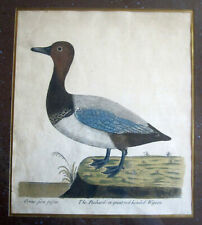 Eleazar Albin hand colored Red Headed WIGEON 1730s Copper Etching Framed Duck