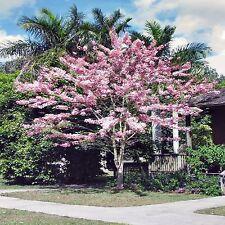 PINK SHOWER TREE SEEDS CASSIA GRANDIS FLOWERING TREE 3 SEED PACK