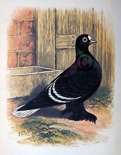 "Fancy Pigeon "" White Spot "" By James C. Lyell Poster Art 13"" X 19"""