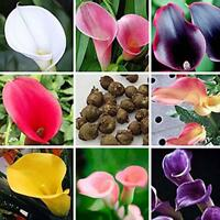 100PCS Rare Colorful Calla Lily Flower Seeds Home Garden Plants Seed Bonsai new