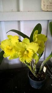 """Orchids cattleya Karen's Sunrise """"Waianae"""" In Flower."""
