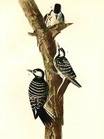 AUDUBON Painting RED COCKADED WOODPECKER Vintage 1937 Birds of America BookPrint