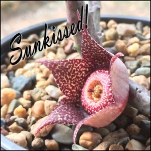 Orbea hardyii - Succulent, Stapelia, Huernia