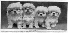 4 BABY  FLUFFY WHITE PEKINGESE PUPPIES PUPPY Dogs Peke 1934 Vintage PHOTO  Print