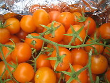 15 graines semences Tomates ORANGE BOURGOUIN  Tomaten méthode bio SEEDS France