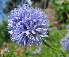 GLOBE GILIA FLOWER SEEDS - BULK *****