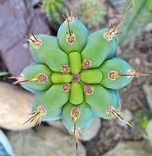 BIO Trichocereus bridgesii 30 cm cutting san pedro cactus no ariocarpus pachanoi